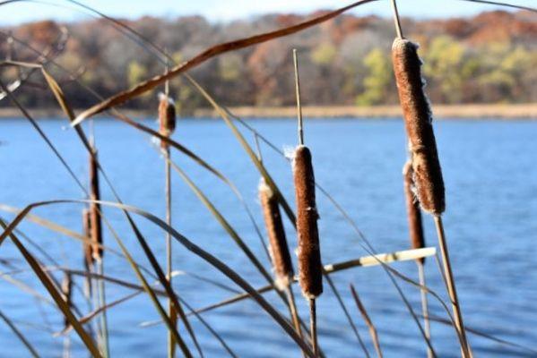 cattails at Fish Lake