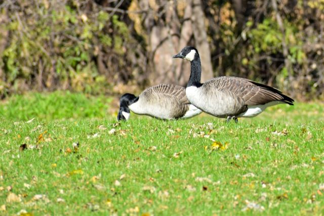 geese at french park