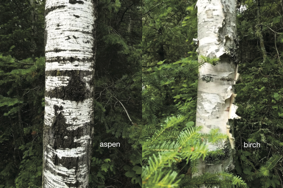 aspen and birch bark
