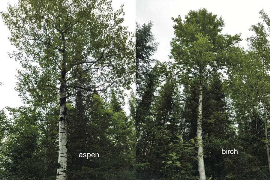 aspen and birch trees