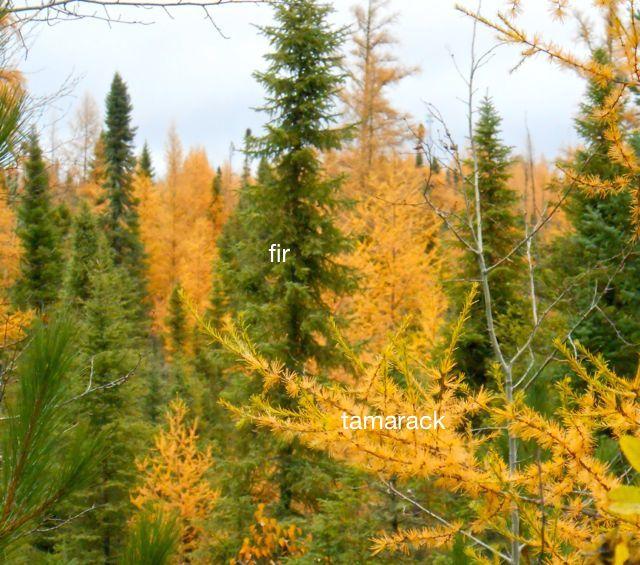 balsam fir and tamarack