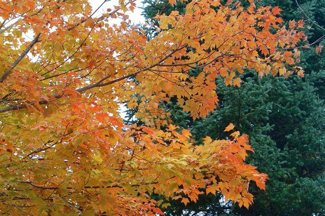 maple and balsam fir
