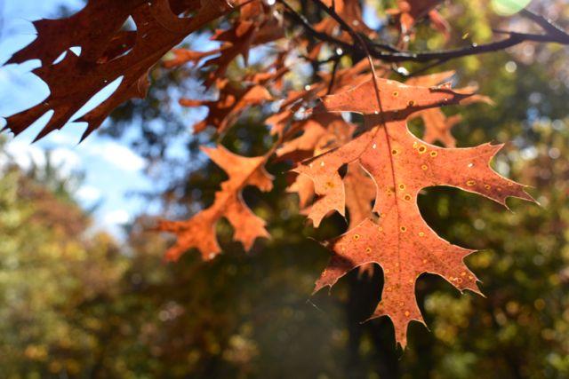 rusty red oak leaves