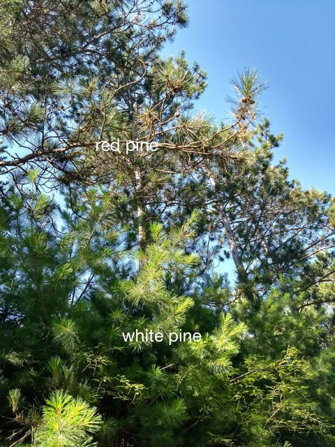 red pine and white pine needles
