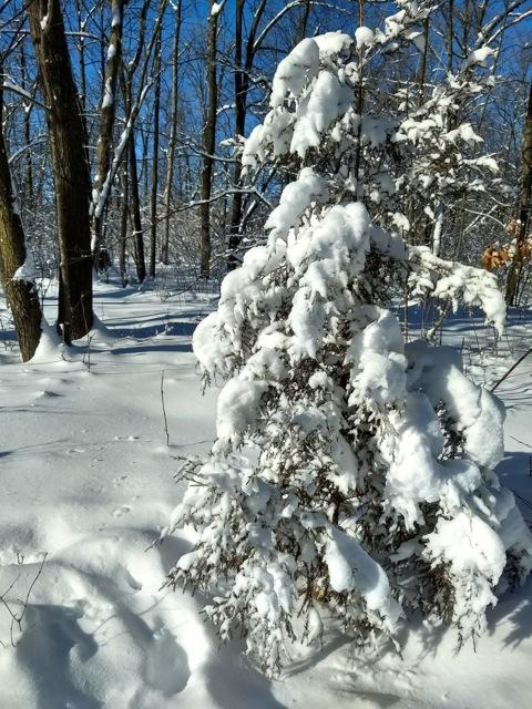 cedar tree with snow rum river central