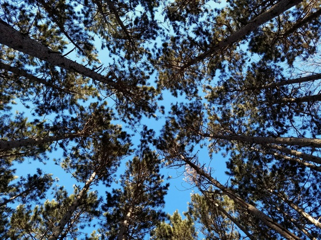 red pine canopy