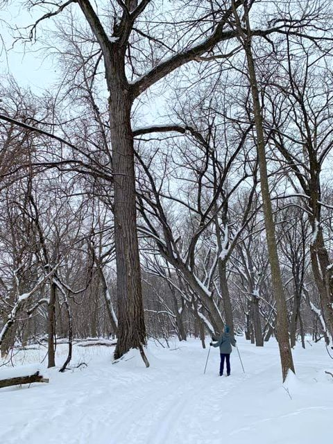 massive cottonwood on pike island; cross country skiing fort snelling