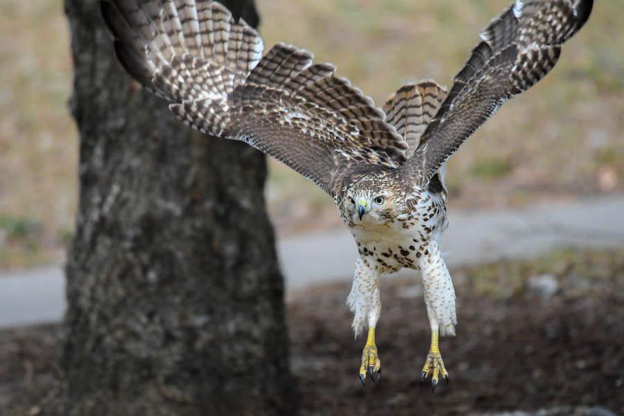 Flying hawk © Brian Whitson