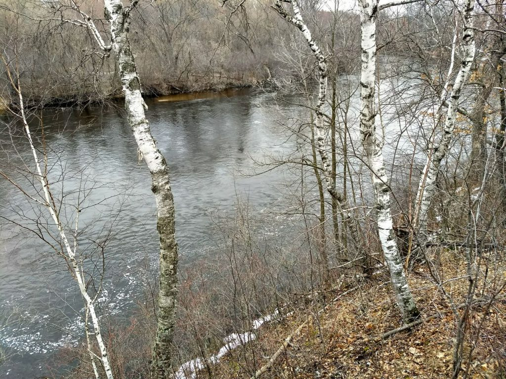 birch trees along the Rum River in Rum River North County Park