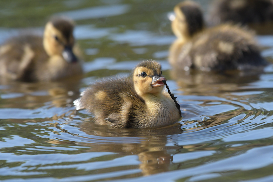 ducklings © Brian Whitson