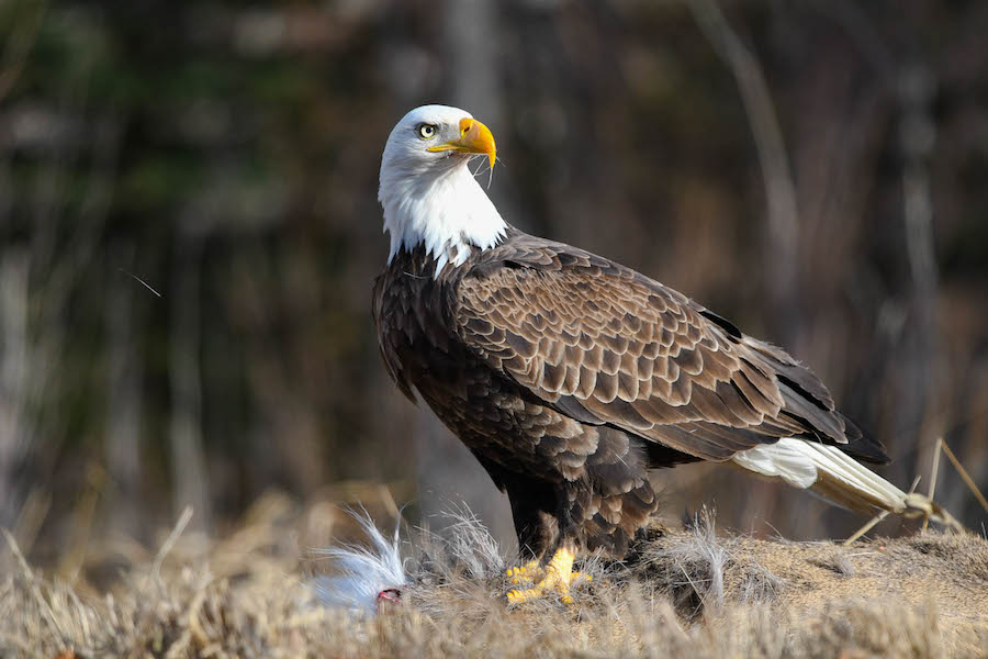 Bald eagle © Brian Whitson