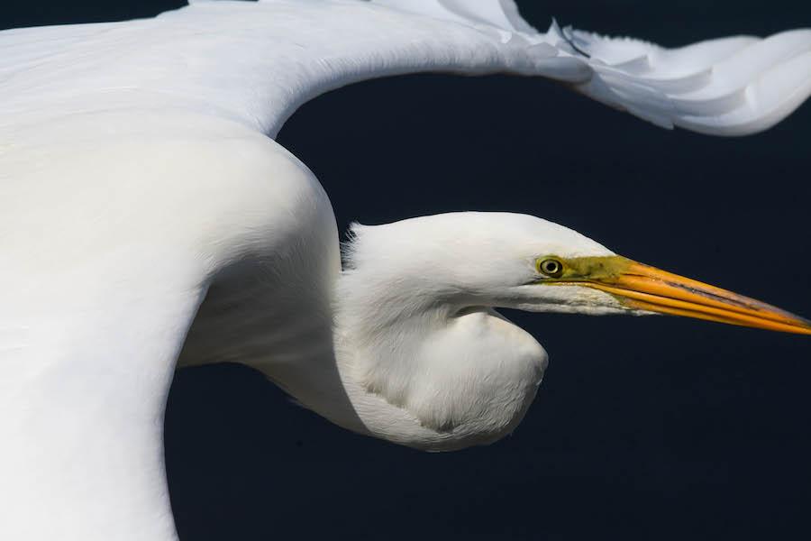 Egret © Brian Whitson