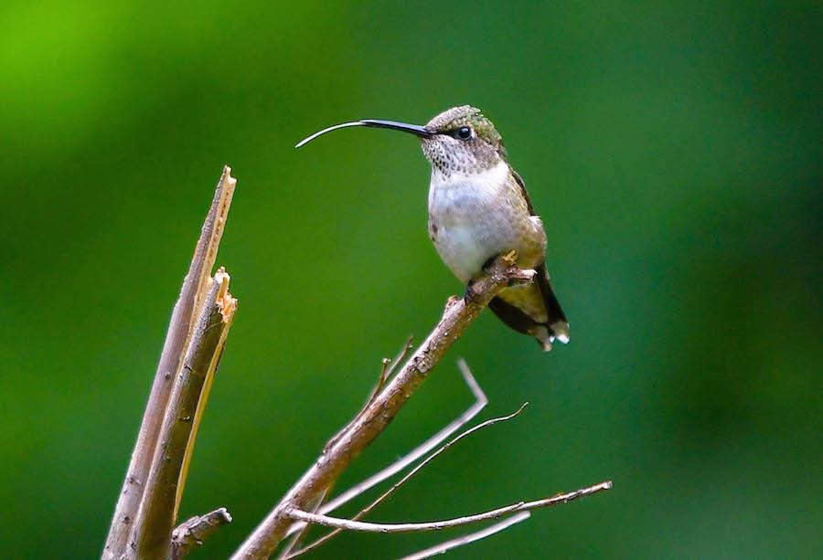 hummingbird © Brian Whitson