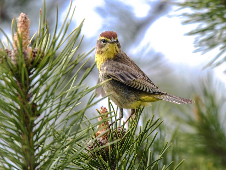 Palm warbler © Brian Whitson