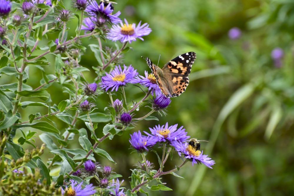 butterfly on aster, crosby farm park