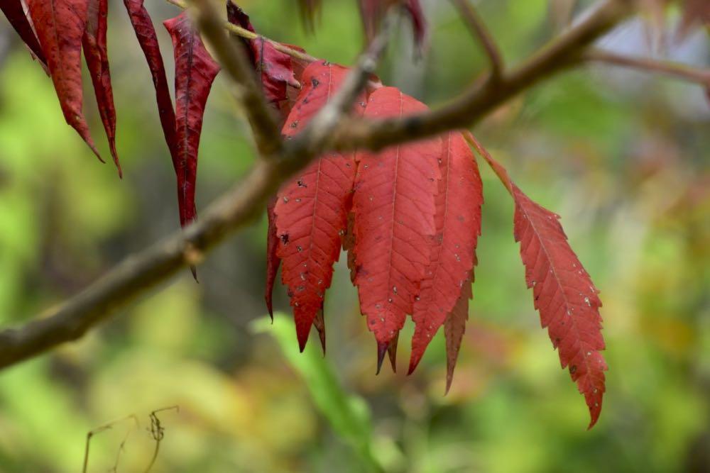 red sumac leaves, crosby farm pak