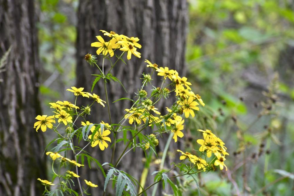 sunflowers, crosby farm regional park