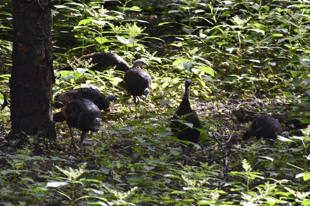 wild turkeys, crosby farm park