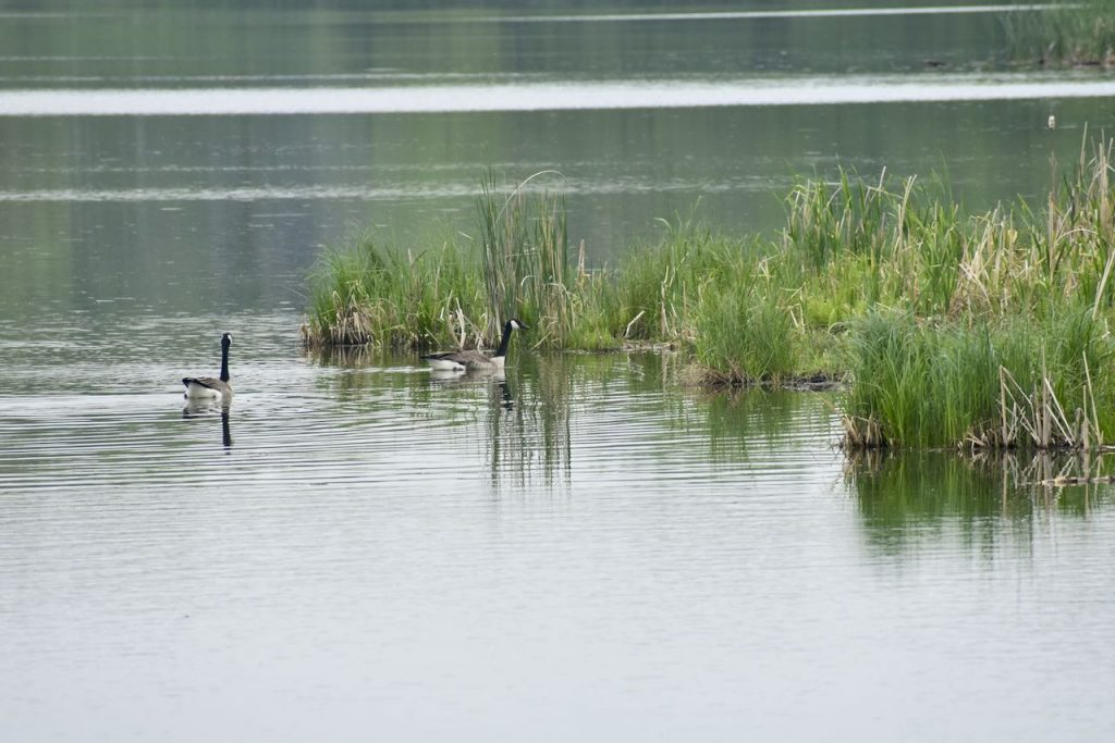 canada geese on a lake in elm creek park reserve