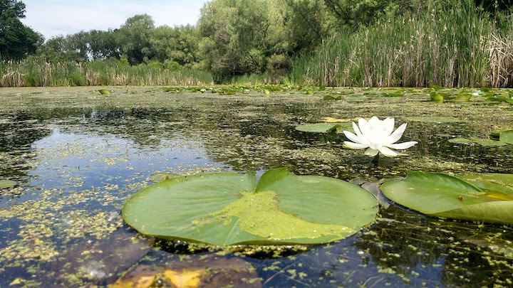 lilypads and water lilies