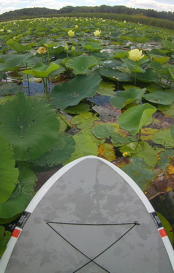 paddleboard and lotus flowers