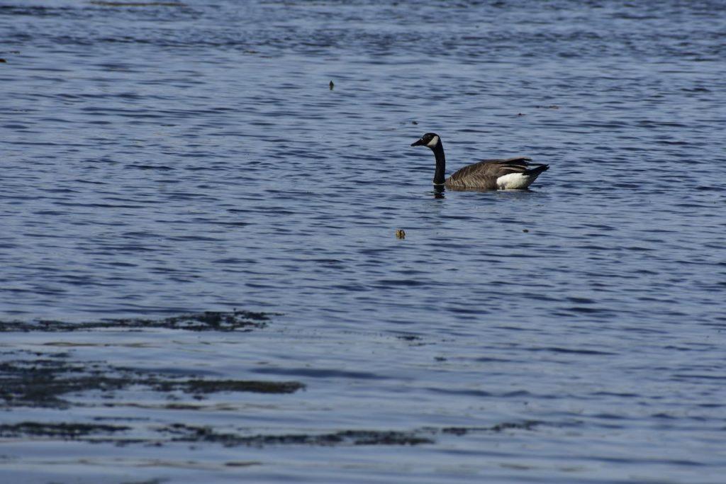 canada goose crosby lake